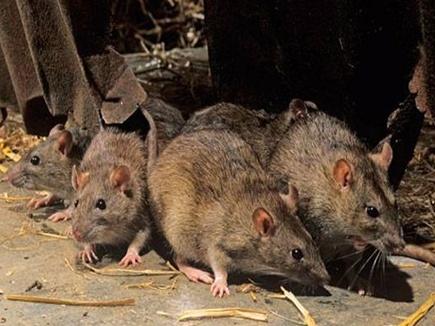 Image result for चूहे कैसे भगाए