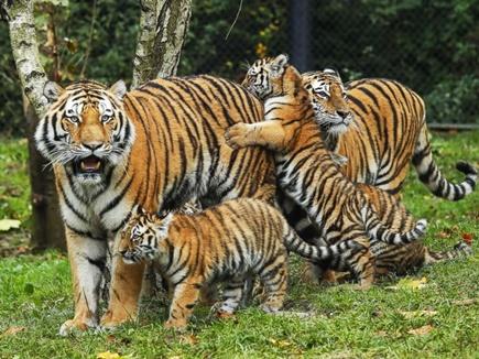 अब बाघों की गिनती के वैज्ञानिक तरीके से उम्मीद