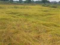 Rain in Madhya Pradesh :  मक्का व धान की फसल को बारिश से नुकसान, किसान चिंतित