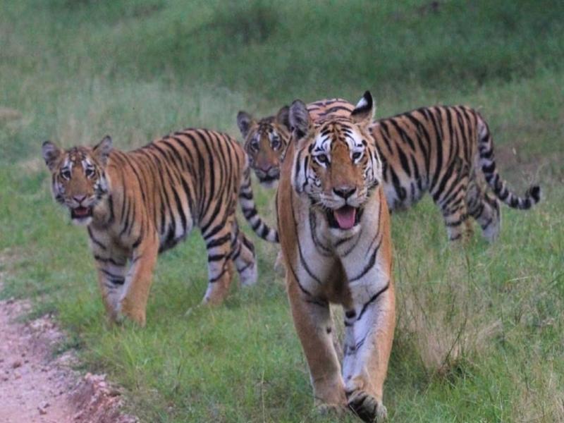 Video Pench National Park : पर्यटकों से गुलजार पेंच नेशनल पार्क, हो रहे बाघ के दीदार
