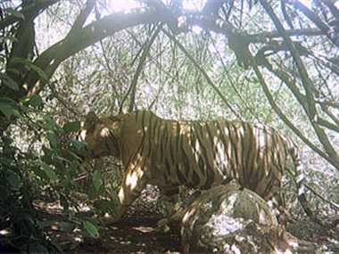 भोरमदेव अभ्यारण्य में 1 बाघ, तीन बाघिन सहित तीन शावक