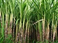मध्यप्रदेश में किसानों के लिए जल्द ही आएगी नई गन्ना नीति