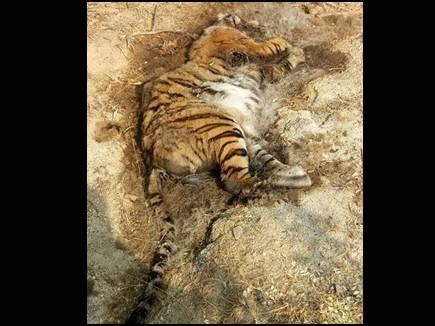 कान्हा और सिवनी में दो बाघिन की मौत