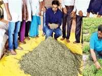 मीठी तुलसी की खेती ने बस्तर के किसानों को दिलाई अंतरराष्ट्रीय पहचान