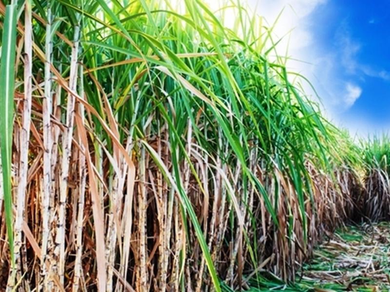 गन्ना किसानों के बकाया भुगतान की नई योजना पर काम कर रही सरकार