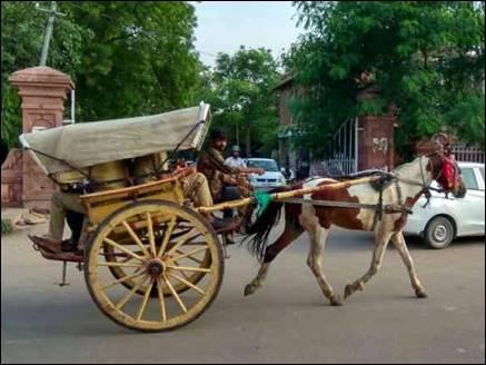 राजस्थान में तांगा दौड़ बनी जल्लीकट्टू जैसा मुद्दा