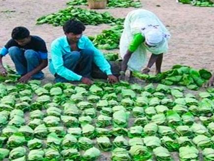 मध्यप्रदेश में तेंदूपत्ता संग्राहकों को इस बार पांच सौ रुपए ज्यादा मिलेगी मजदूरी