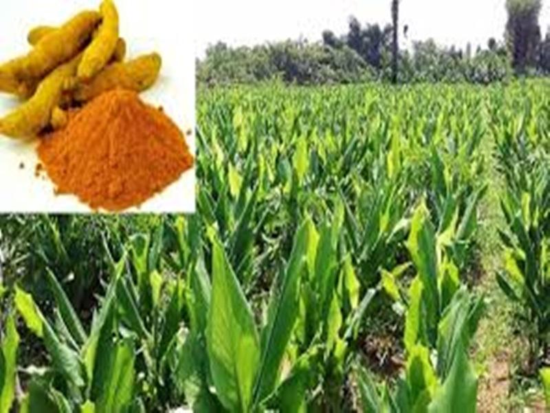 Turmeric Crop : कृषि वैज्ञानिकों ने तैयार की हल्दी की नई किस्म, ये है खासियत