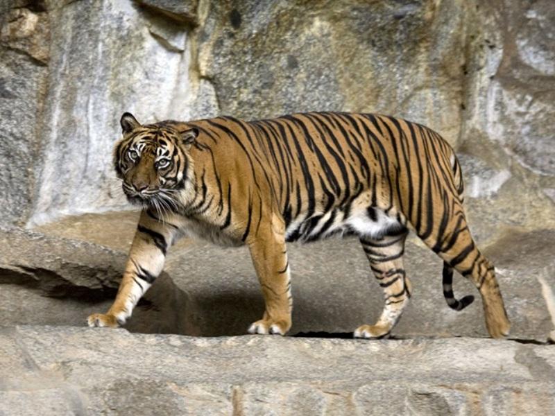 पन्ना में ऐसे बढ़ी बाघों की संख्या, अब यही प्रकिया छत्तीसगढ़ में