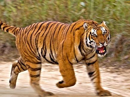 शहडोल जिले में मवेशी चराने गए ग्रामीण का बाघ ने किया शिकार