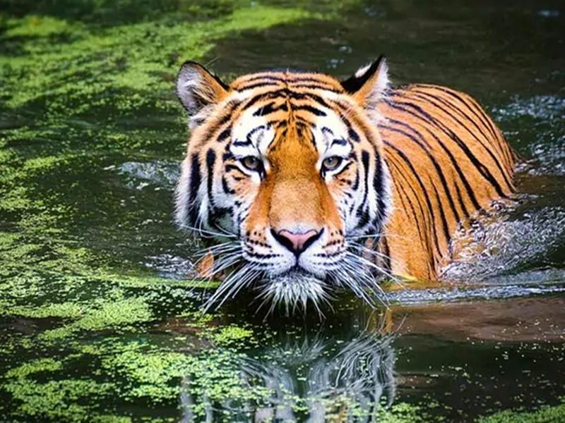 भारत में बाघों की संख्या बढ़ने पर यूएन ने किया खुशी का इजहार