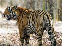 छत्तीसगढ़ में इतने बाघ नहीं तो मौत कैसे होगी, दो रिपोर्ट से वन्यजीव प्रेमी असमंजस में