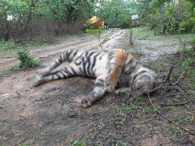 उमरिया के घुनघुटी रेंज में बाघ के हमले में शावक की मौत