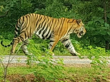 दमोह जिले में सड़क पर घूमता दिखा बाघ, ग्रामीणों में दहशत