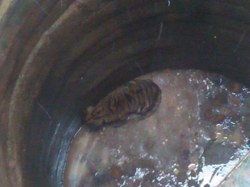 VIDEO : कुएं में गिरे बाघ शावक को पांच घंटे की मशक्कत के बाद निकाला