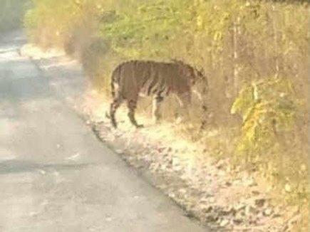 गुजरात में जिंदा है टाइगर, 27 साल बाद आया नजर, तस्वीर हुई वायरल