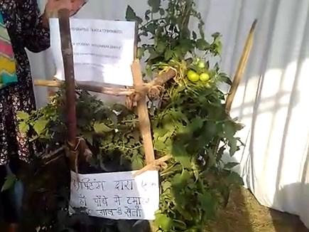 VIDEO: एक ही पौधे में टमाटर और आलू, इसे कहते हैं टॉमटैटो प्लांट
