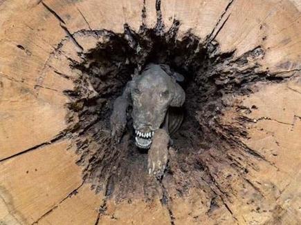 60 साल पुराने पेड़ के अंदर निकली ममी, ट्री म्यूजियम में रखी