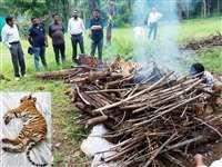 बांधवगढ़ में फिर एक बाघ शावक की मौत, एक माह के अंदर 5 मृत