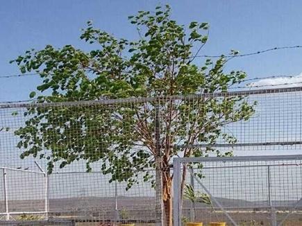 भोपाल : यहांं है वीवीआईपी पेड़, सुरक्षाकर्मी भी रहते हैं तैनात