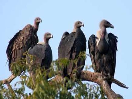 Vultures Counting in MP: इन जिलों में शुरू होगी गिद्धों की गिनती