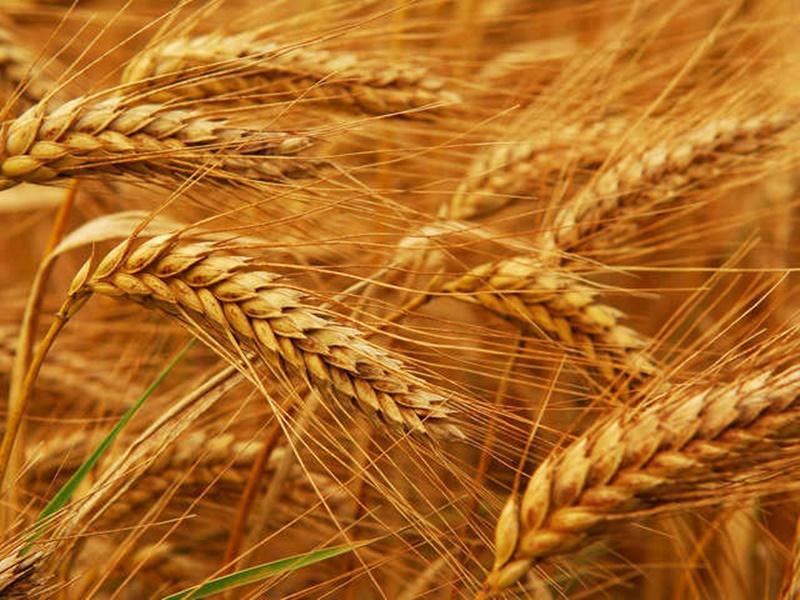 Wheat Production : सूखे की चपेट में आ सकता है 60 प्रतिशत गेहूं उत्पादन
