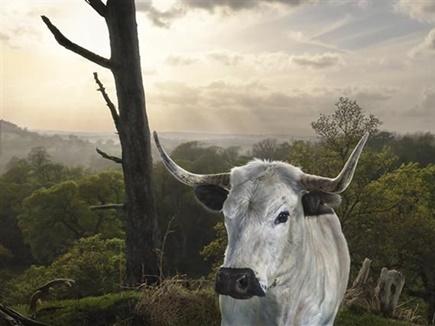 white park cow 2017321 151655 21 03 2017